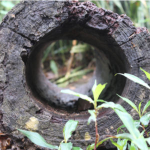 Overwintering mosquitoes will hide out in hollow logs until warm temperatures return here in Fort Worth, TX.
