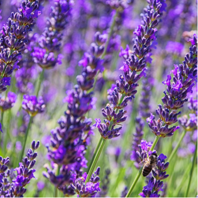 One of the great spring mosquito preparation tips is to plant mosquito-repelling plants, like lavender, around your lawn and home.